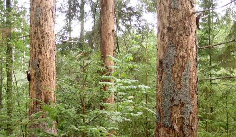 Miljöorganisation skeptisk till regeringens skogsprogram