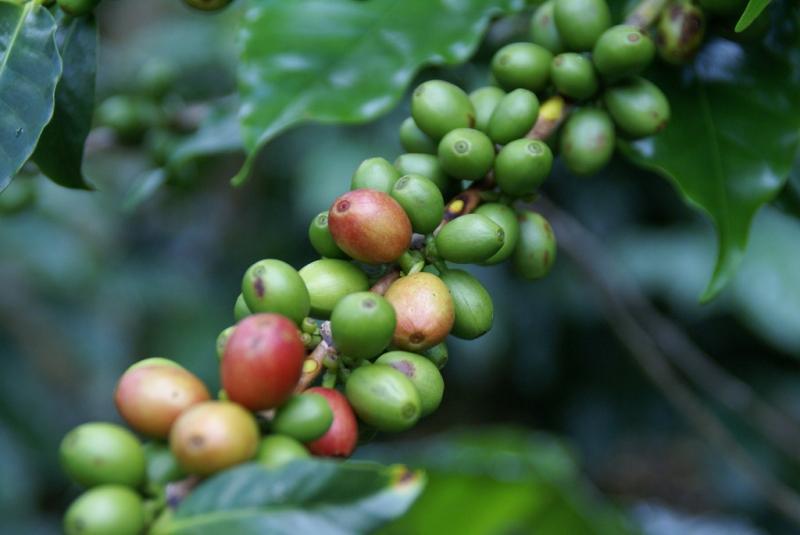 Klimatförändringar hotar produktionen av kaffe
