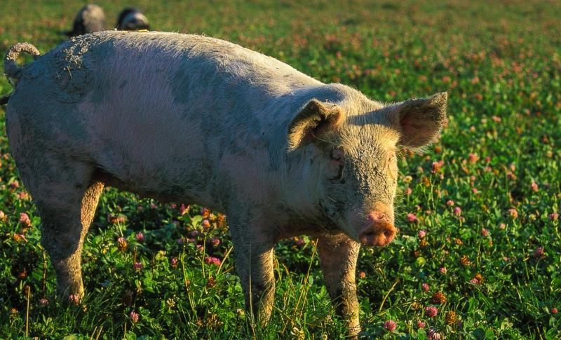 Kommuner kan skärpa kraven vid upphandling av kött