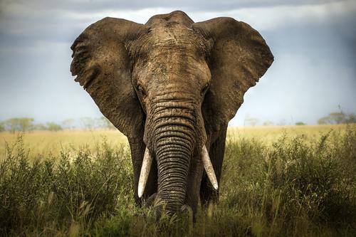 EU skeptiskt till förbud mot handel med vilda elefanter
