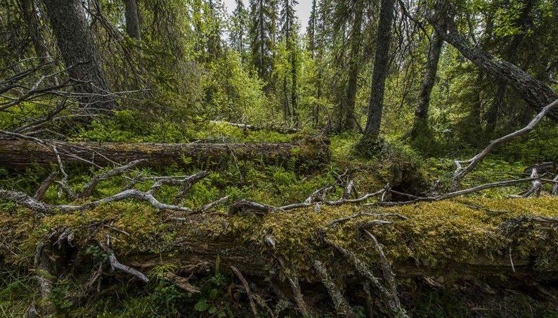 Skogsstyrelsen får kraftigt minskat anslag – varslar 124 personer