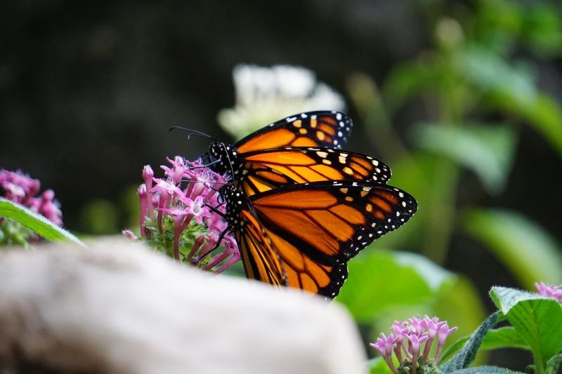 Mexico flyttar barrträd – ska rädda utrotningshotade monarkfjärilen