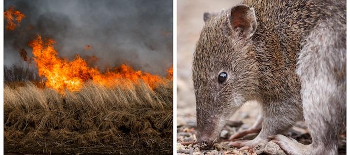 Så många djur dör av bränderna i Australien