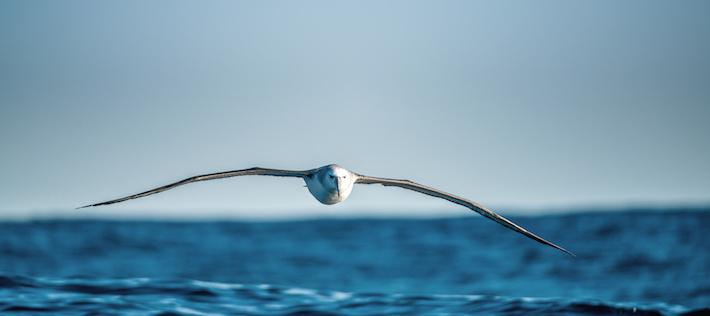 Albatrossen blir havets nya väktare