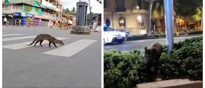 Människor i karantän –nu tar djuren över städerna