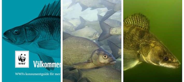 Fiskguiden 2020: Här är fiskarna du kan äta med gott samvete