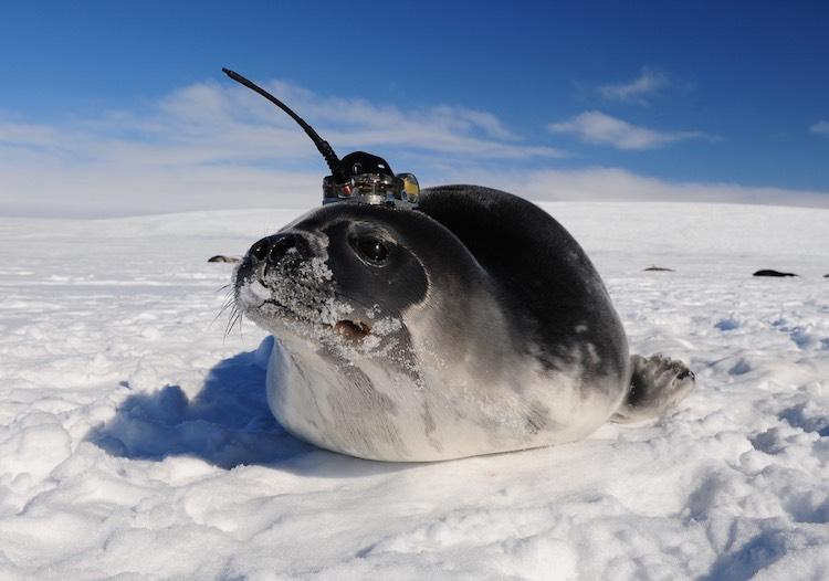 Sälar hjälper havsforskare