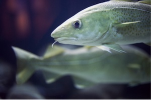Nya miljöregler ska skydda fisken